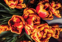 Introducing the Jamala Tulip